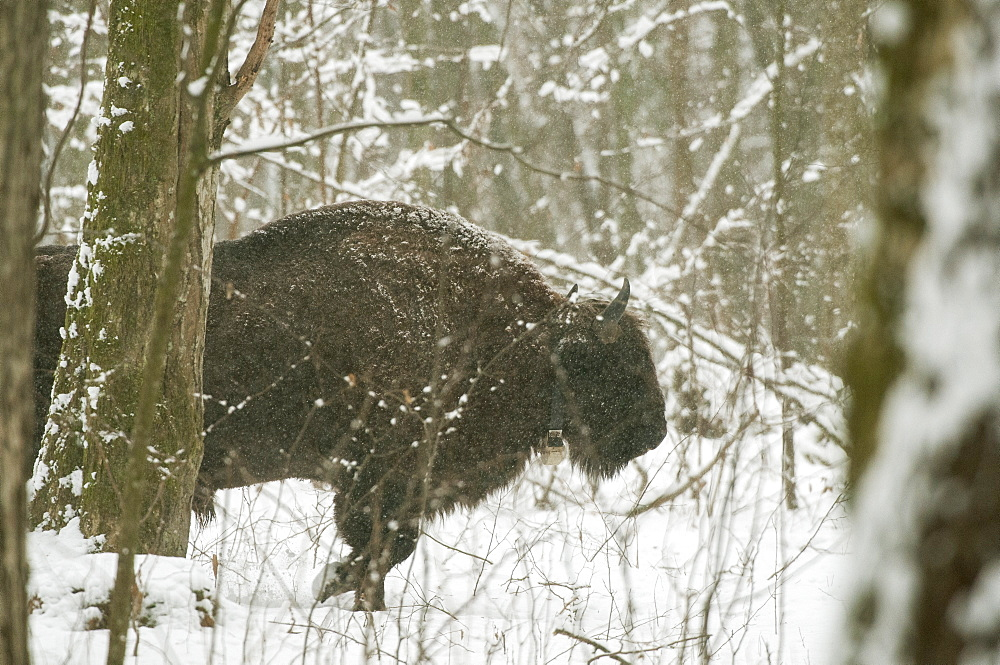 European bison (Bison bonasus) bull walking in snow covered forest habitat in February, Bialowieza National Park, Podlaskie Voivodeship, Poland, Europe