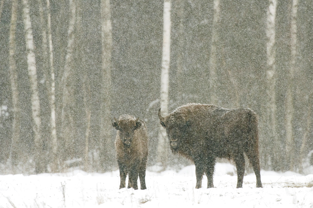 European bison (Bison bonasus) female with calf, standing on snow covered field in February, Bialowieza National Park, Podlaskie Voivodeship, Poland, Europe