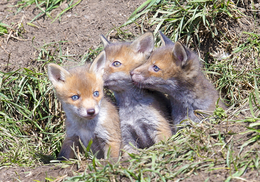Red Fox Cubs (Vulpes vulpes), Middlesborough, United Kingdom, Europe