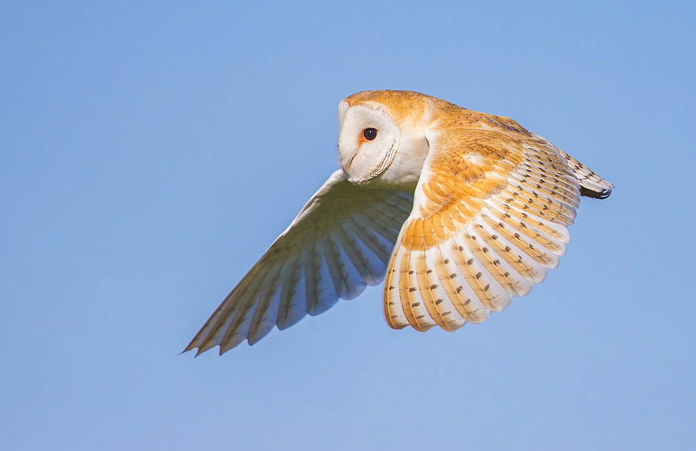 Barn Owl (Tyto Alba), Northumberland, United Kingdom, Europe - 1204-19