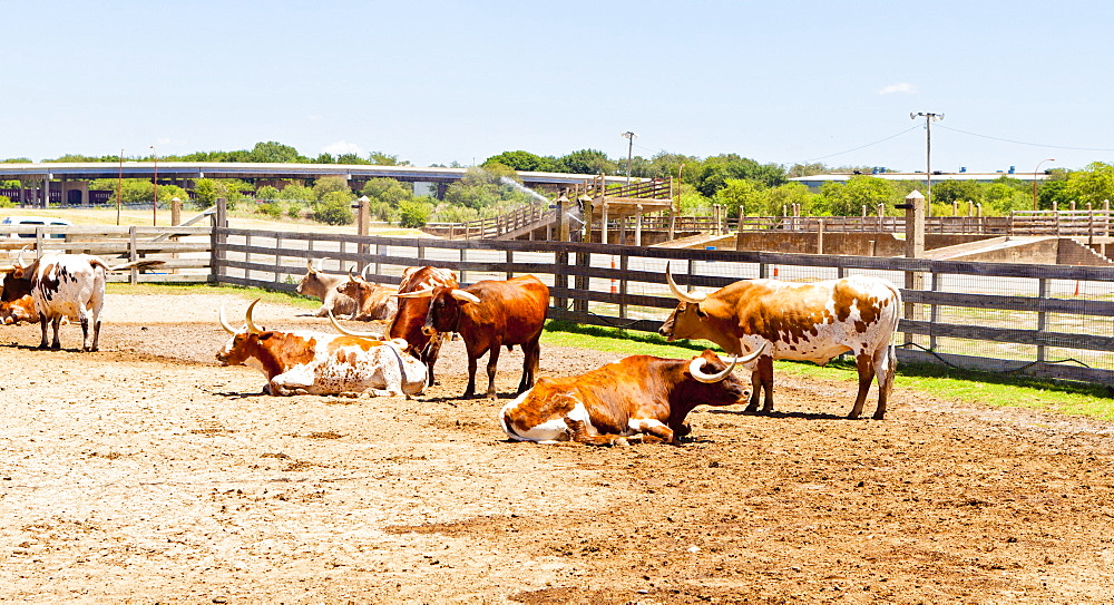 Cattle in Fort Worth Stockyards, Texas, United States of America, North America