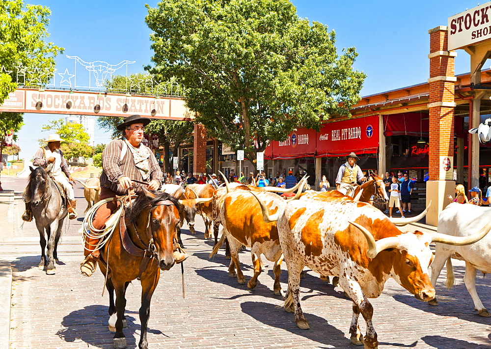 Cattle drive in Fort Worth Stockyards, Texas, United States of America, North America