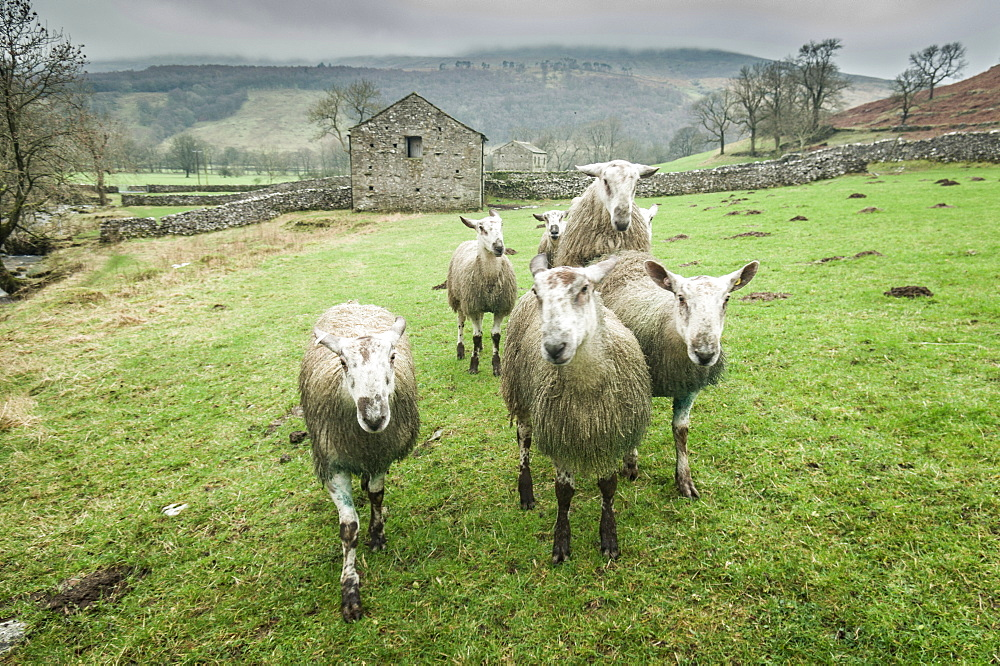 Sheep Wharfedale, Yorkshire, England, United Kingdom, Europe