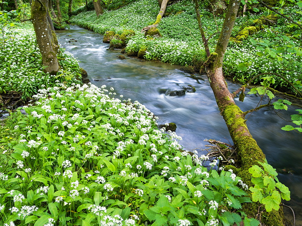 Wild garlic, on the way to Janet's Foss, Malham, Yorkshire Dales National Park, Yorkshire, England, United Kingdom, Europe - 1209-46