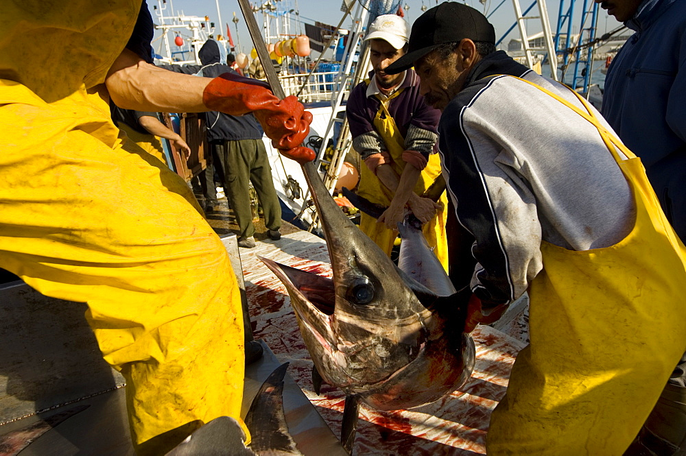 Fishermen landing swordfish at the fishmarket in Tangier, Morocco, North Africa, Africa