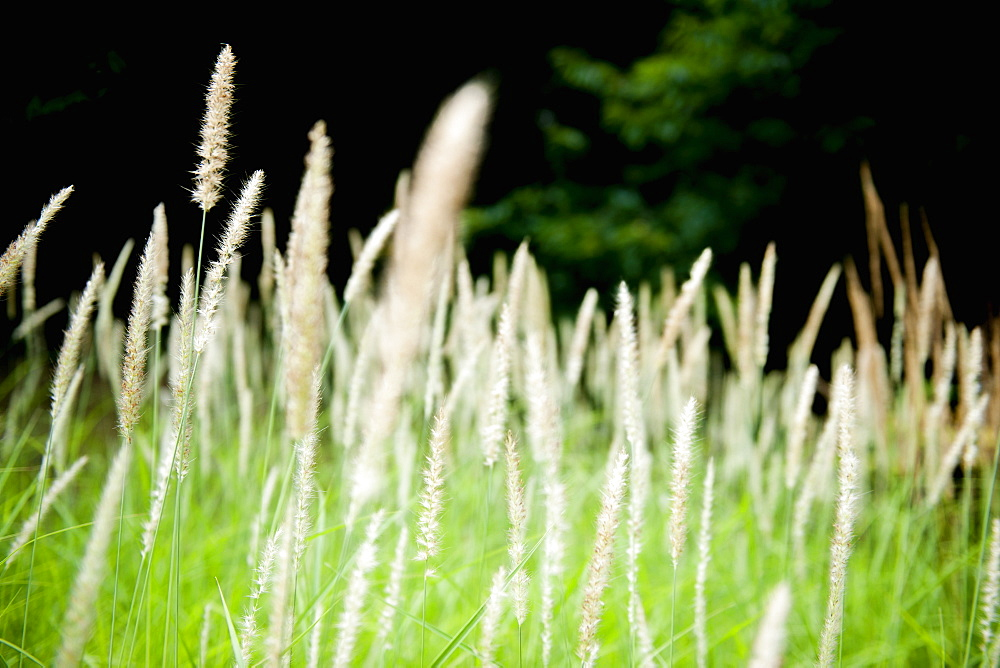 Grasses waving in the wind, France, Europe