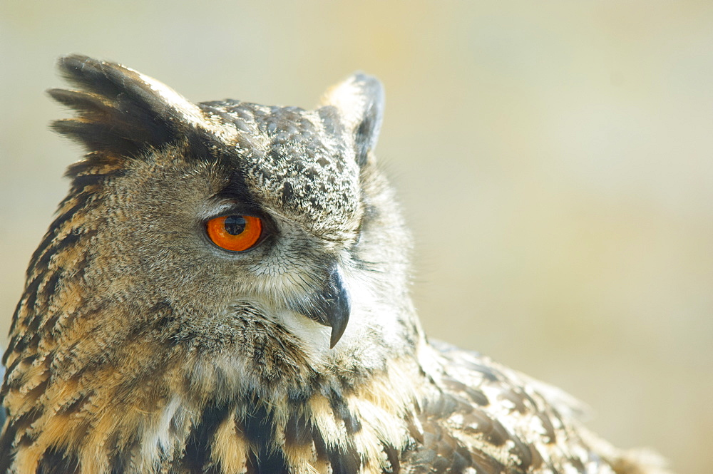 Eagle owl, United Kingdom, Europe