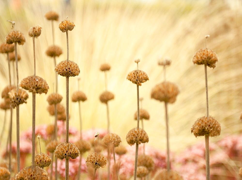 Seed heads of phlomis, United Kingdom, Europe