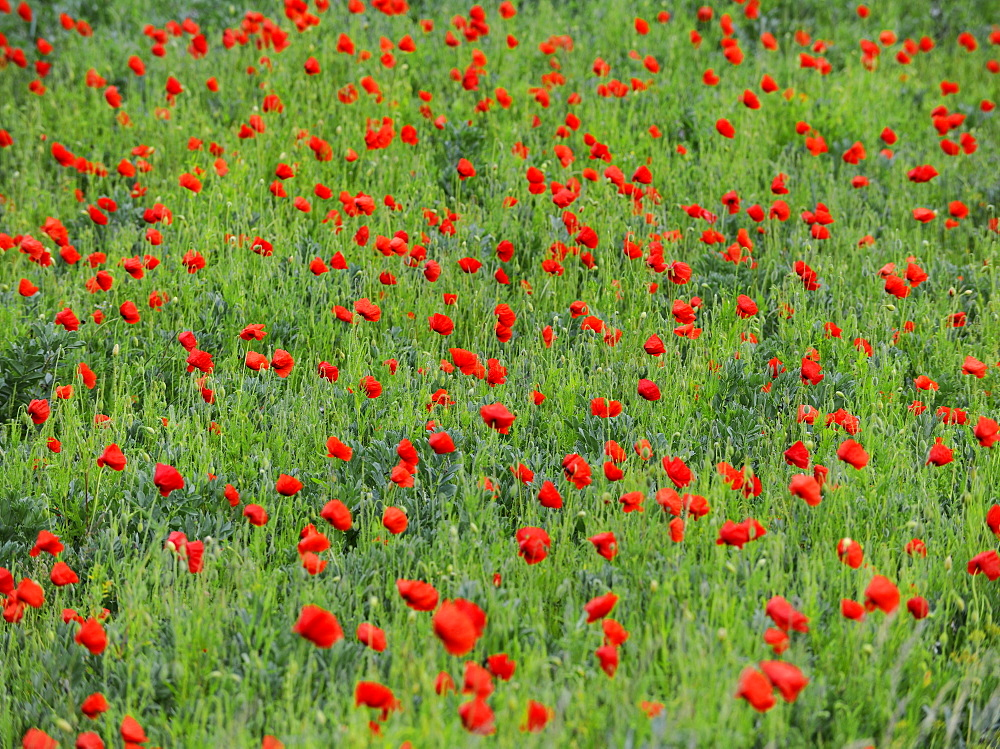 Wild poppies in a field, Suffolk, England, United Kingdom, Europe