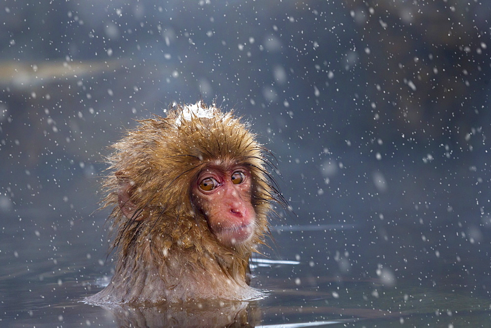 Japanese macaque (Snow monkey) (Macata fuscata), relaxing in a hot spring, Jigokudani Yaen-Koen, Nagano Prefecture, Japan, Asia - 1213-1