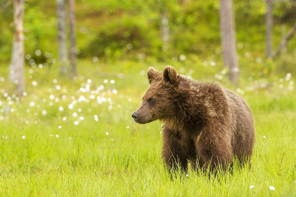 Brown bear (Ursus arctos), Finland, Scandinavia, Europe