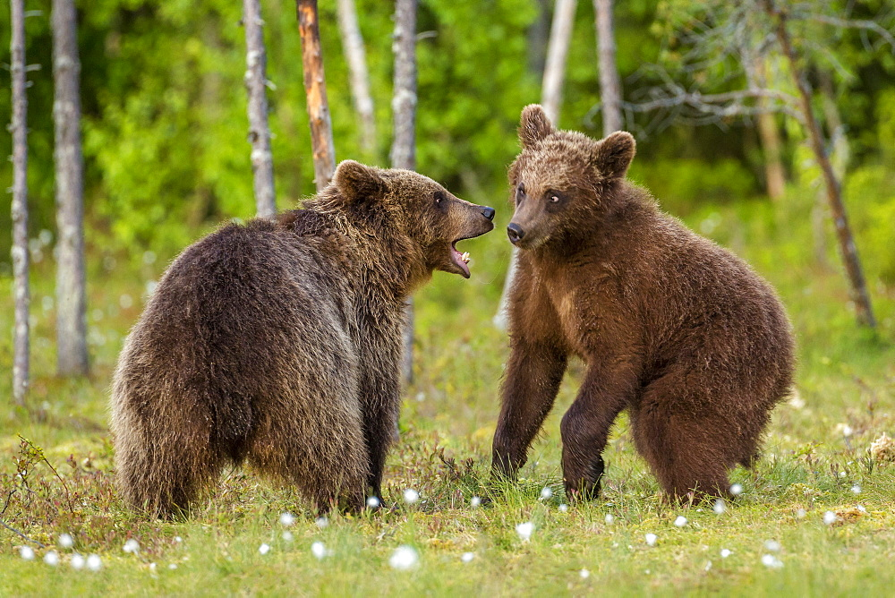 Brown bears (Ursus arctos), Finland, Scandinavia, Europe