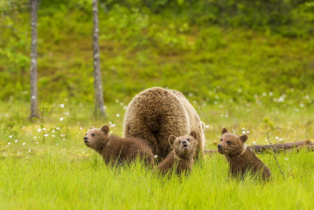 Brown bear (Ursus arctos) mother and cubs, Finland, Scandinavia, Europe