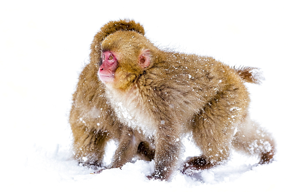 Japanese macaques (Snow monkeys) (Macata fuscata), playing in the snow, Jigokudani Yaen-Koen, Nagano Prefecture, Japan, Asia
