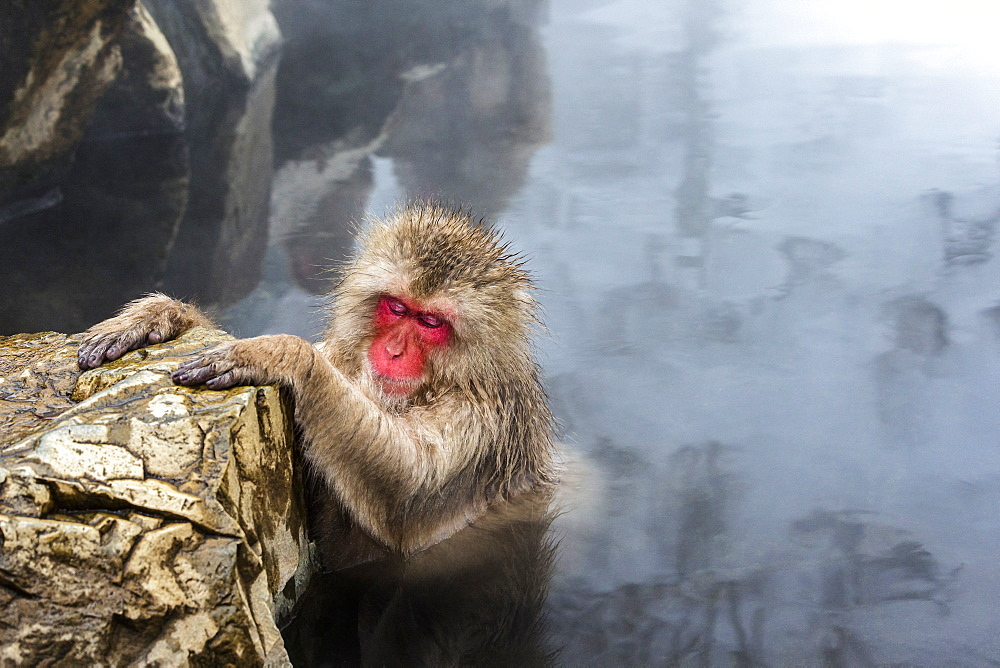 Red faced snow monkey bathing in hot spring