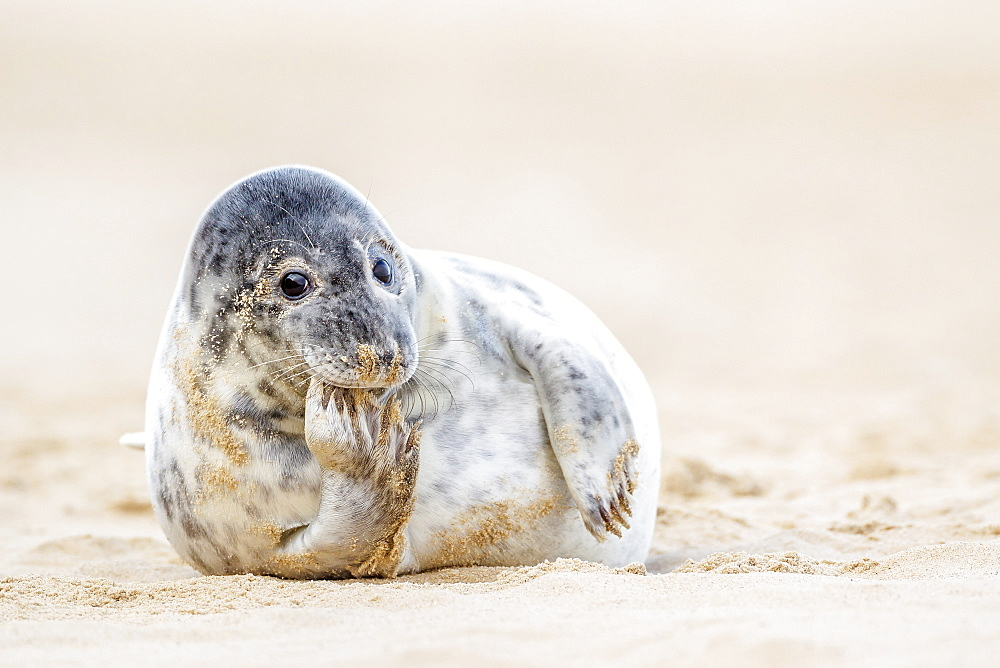 Grey seal (Halichoerus grypus) pup, Winterton on Sea beach, Norfolk, England, United Kingdom, Europe - 1213-43