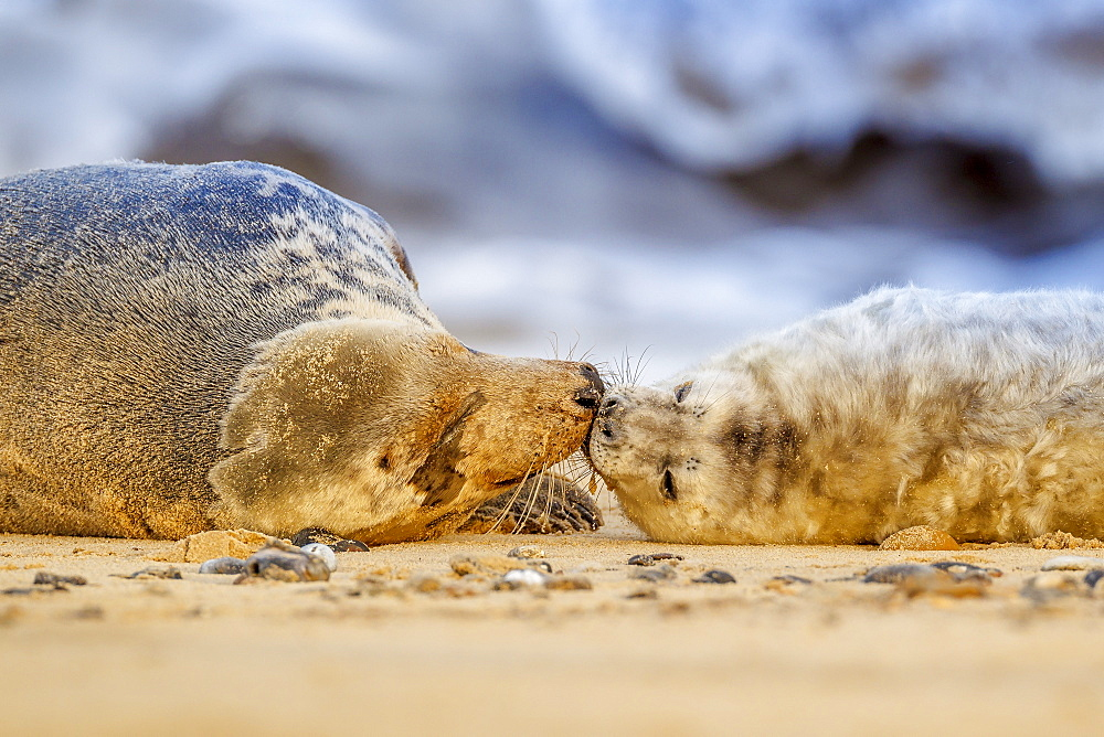 Grey seal mother (Halichoerus grypus) and pup, Winterton on Sea beach, Norfolk, England, United Kingdom, Europe - 1213-44