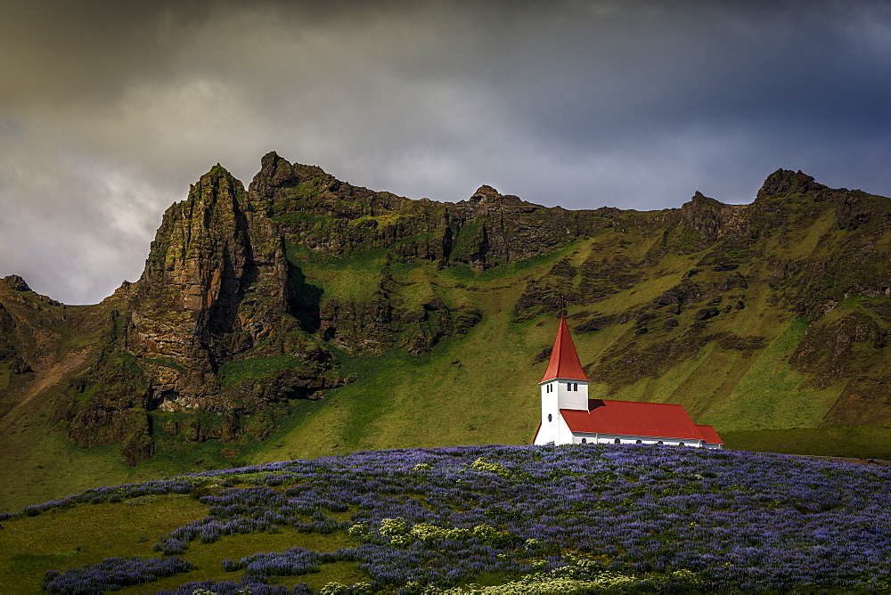Vik church and lupine flowers, South Region, Iceland, Polar Regions