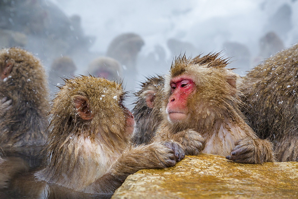 Japanese macaques (Snow monkeys) (Macata fuscata), relaxing in a hot spring, Jigokudani Yaen-Koen, Nagano Prefecture, Japan, Asia