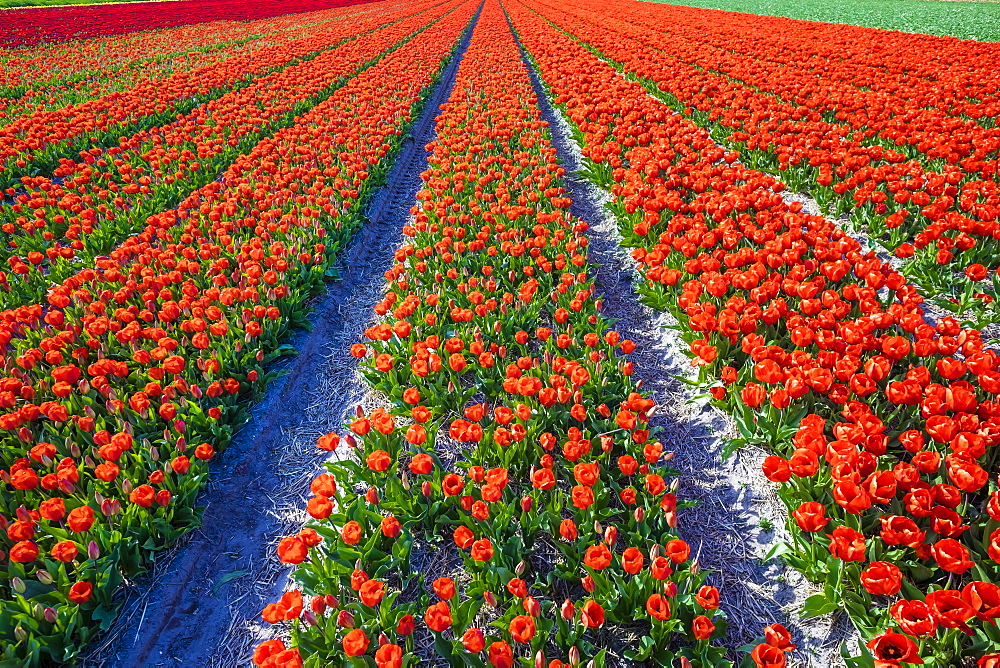 Dutch tulips in bloom in a bulb field in early spring, Lisse, South Holland, Netherlands, Europe - 1217-288
