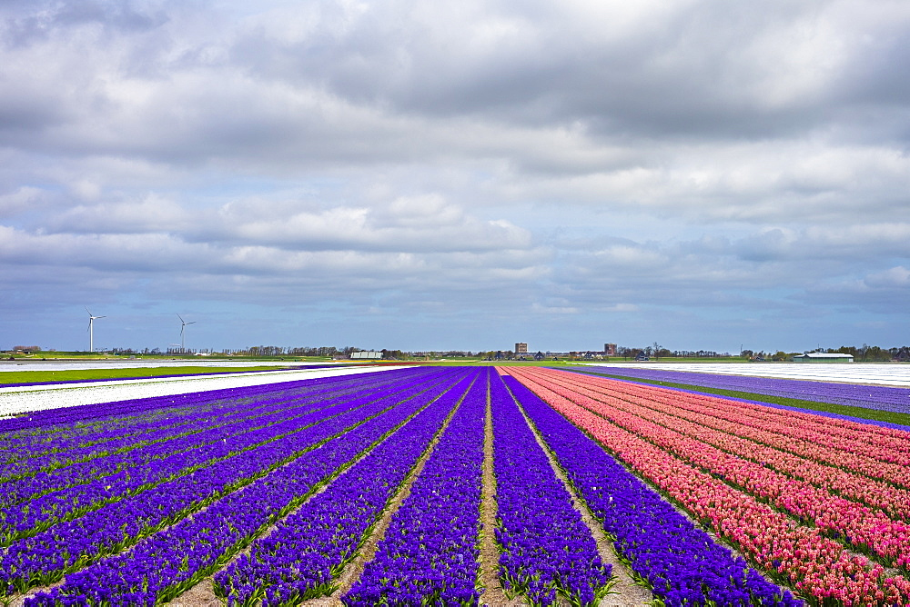 Field of hyacinths (Hyacinthus) in bloom in early spring, Alkmaar, North Holland, Netherlands, Europe