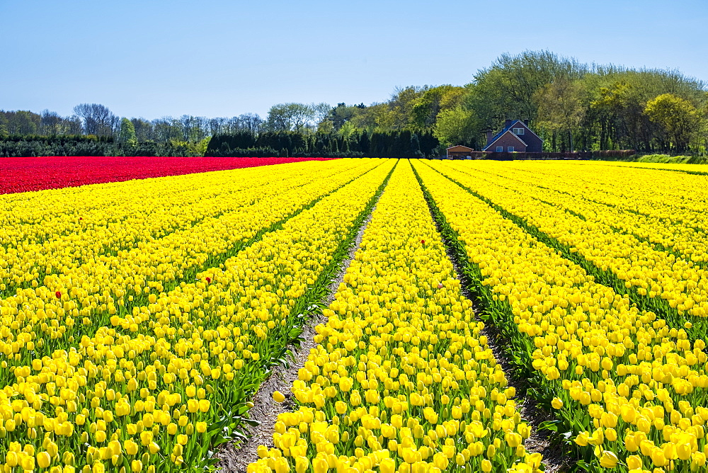 Dutch tulips in bloom in a bulb field in early spring., Nordwijkerhout, South Holland, Netherlands, Europe - 1217-303