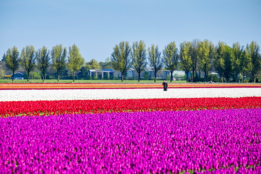 Colorful tulip fields in early spring, Venhuizen, North Holland, Netherlands, Europe - 1217-308