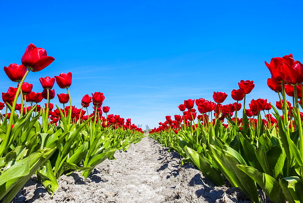 Colorful red Dutch tulip flowers against blue sky, Schermerhorn, North Holland, Netherlands, Europe - 1217-309