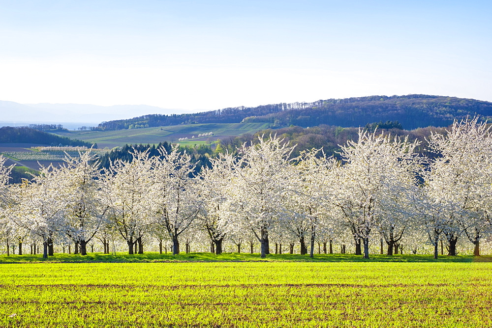Germany, Baden-Württemberg, Schliengen. Blossoming cherry trees in the Eggenertal Valley in early spring.