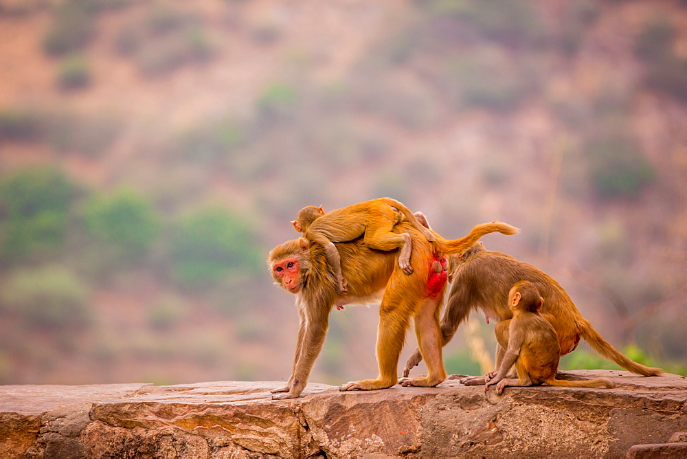 Wild monkeys, Jaipur, Rajasthan, India, Asia