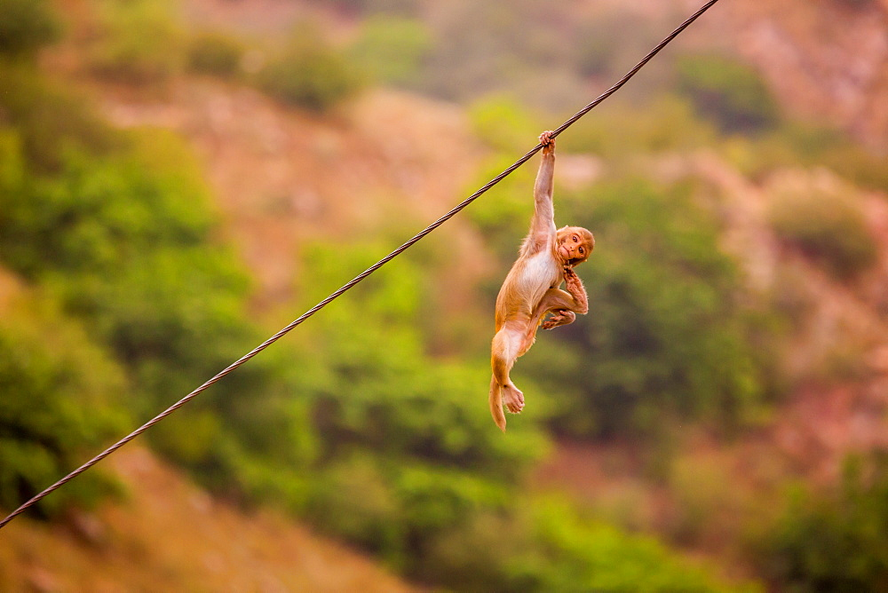 Wild monkey hanging out, Jaipur, Rajasthan, India, Asia