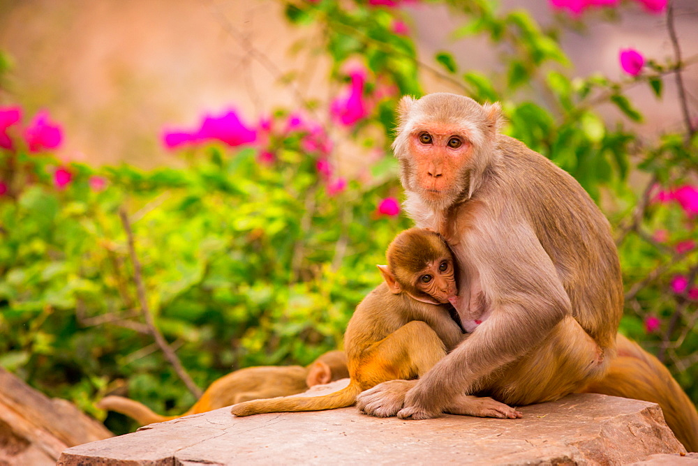 Wild monkeys, Jaipur, Rajasthan, India