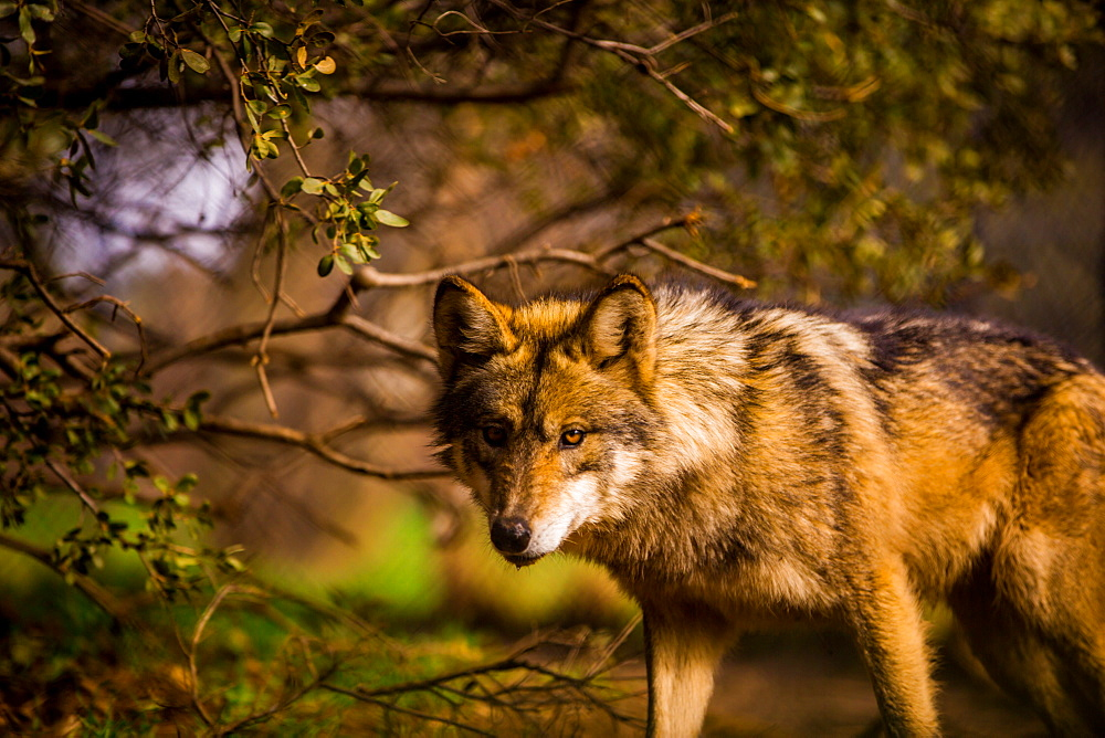 Mexican wolf, Julien, California, United States of America, North America