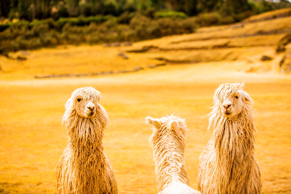 Three Llamas, Sacsayhuaman Ruins, Cusco, Peru, South America