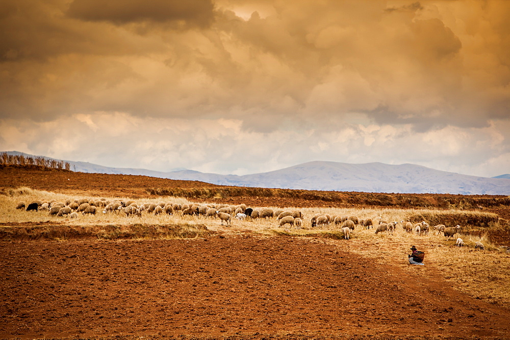 Farmer and her sheep, Sacred Valley, Cusco, Peru, South America