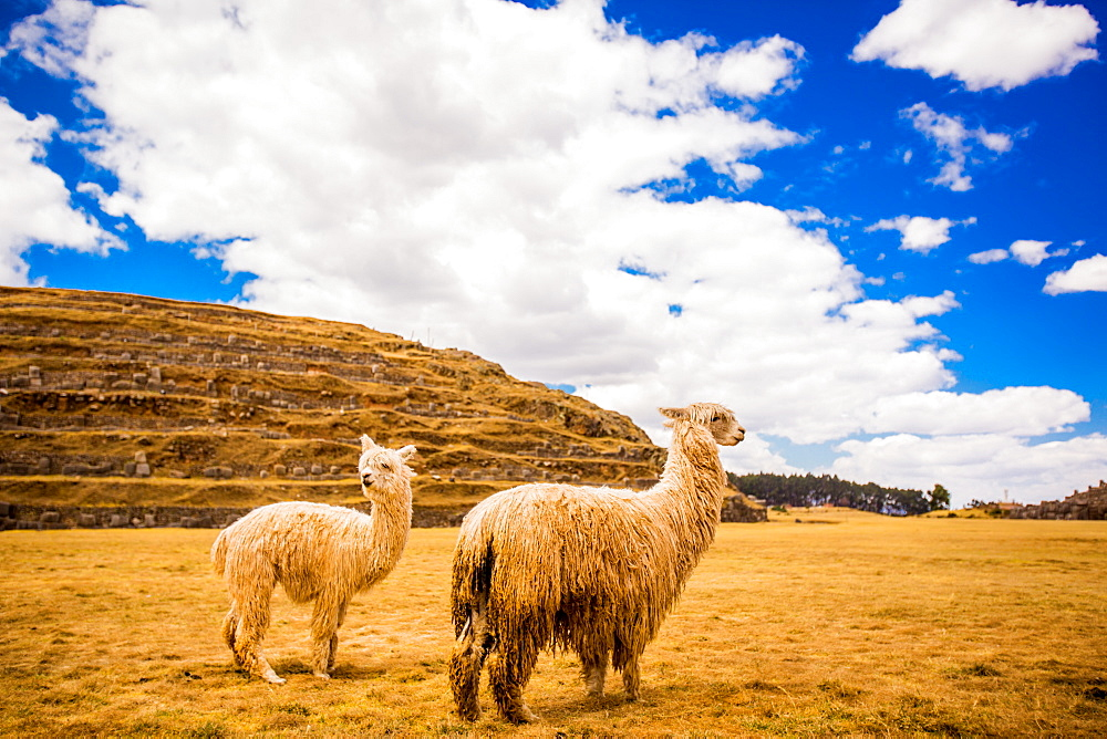 Two Llamas, Sacsayhuaman Ruins, Cusco, Peru, South America