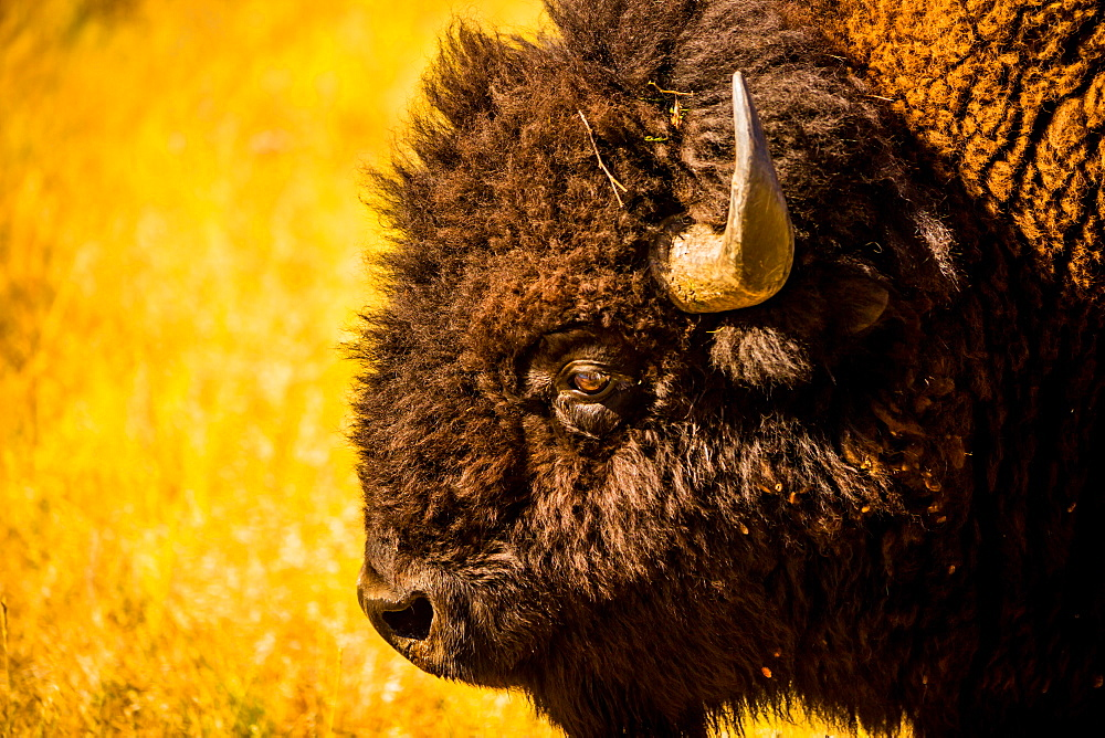 Portrait of an American buffalo, Buffalo Round Up, Custer State Park, Black Hills, South Dakota, United States of America, North America