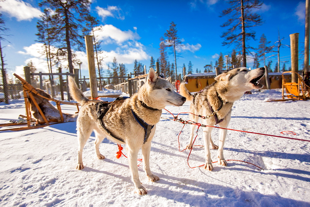 Husky Dogsledding Safari, Kakslauttanen Igloo Village, Saariselka, Finland, Scandinavia, Europe