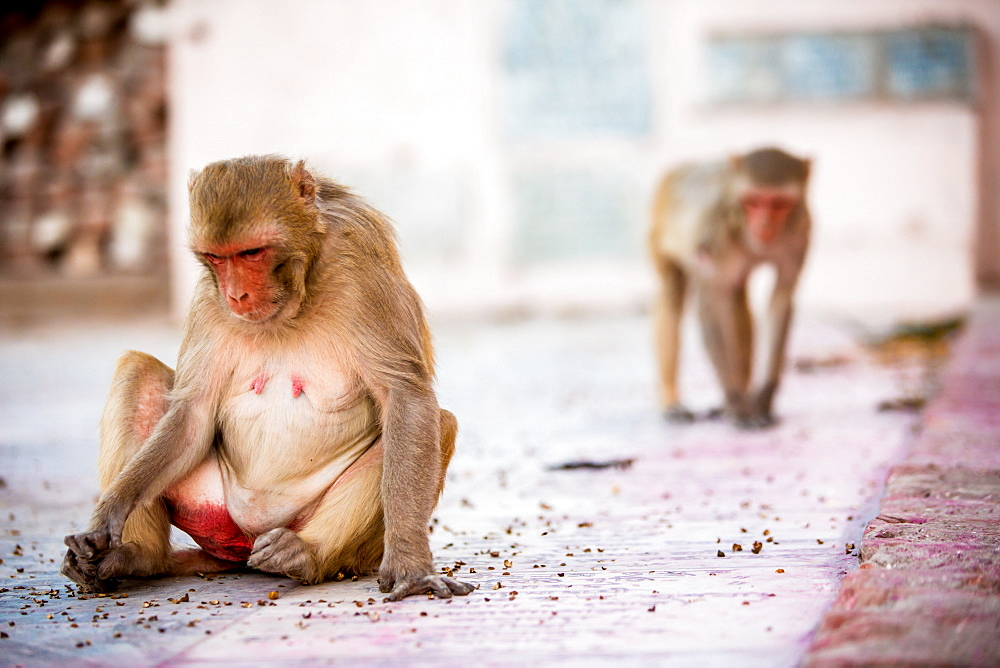 Monkey spectators during the Flower Holi Festival, Vrindavan, Uttar Pradesh, India, Asia