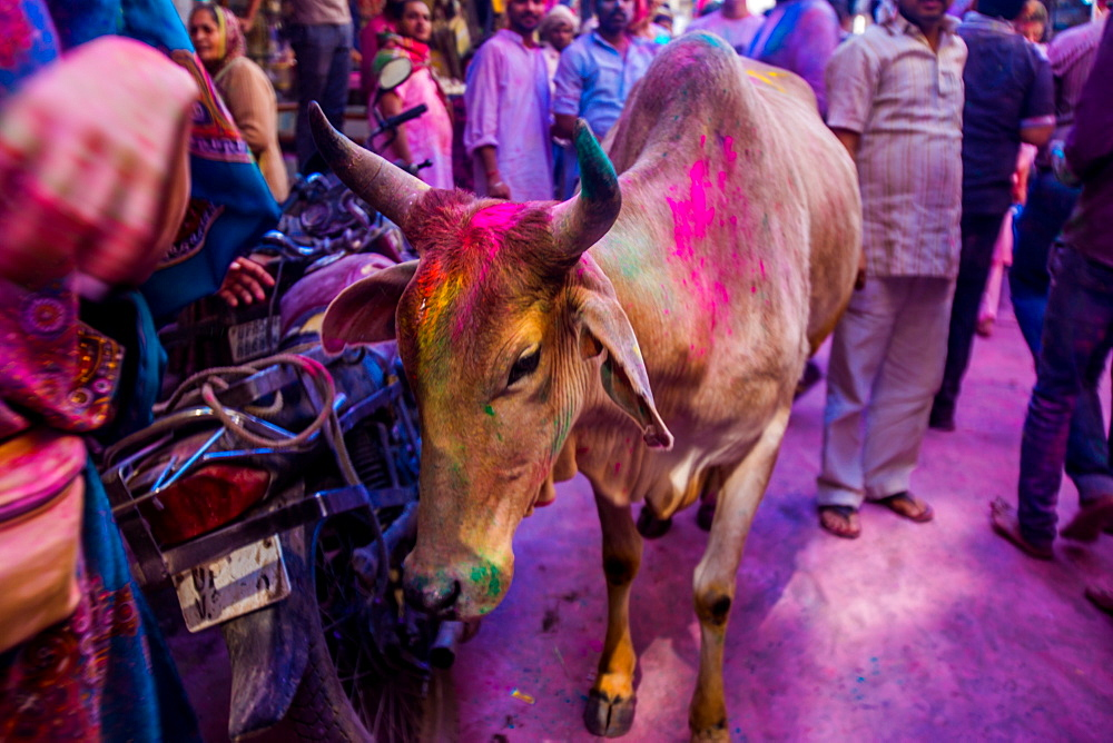 Holy cow, pigment throwing Holi Festival, Vrindavan, Uttar Pradesh, India, Asia