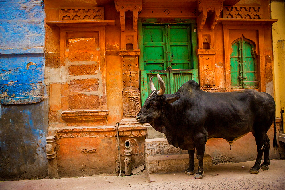 Holy cow standing in the blue streets of Jodhpur, the Blue City, Rajasthan, India, Asia
