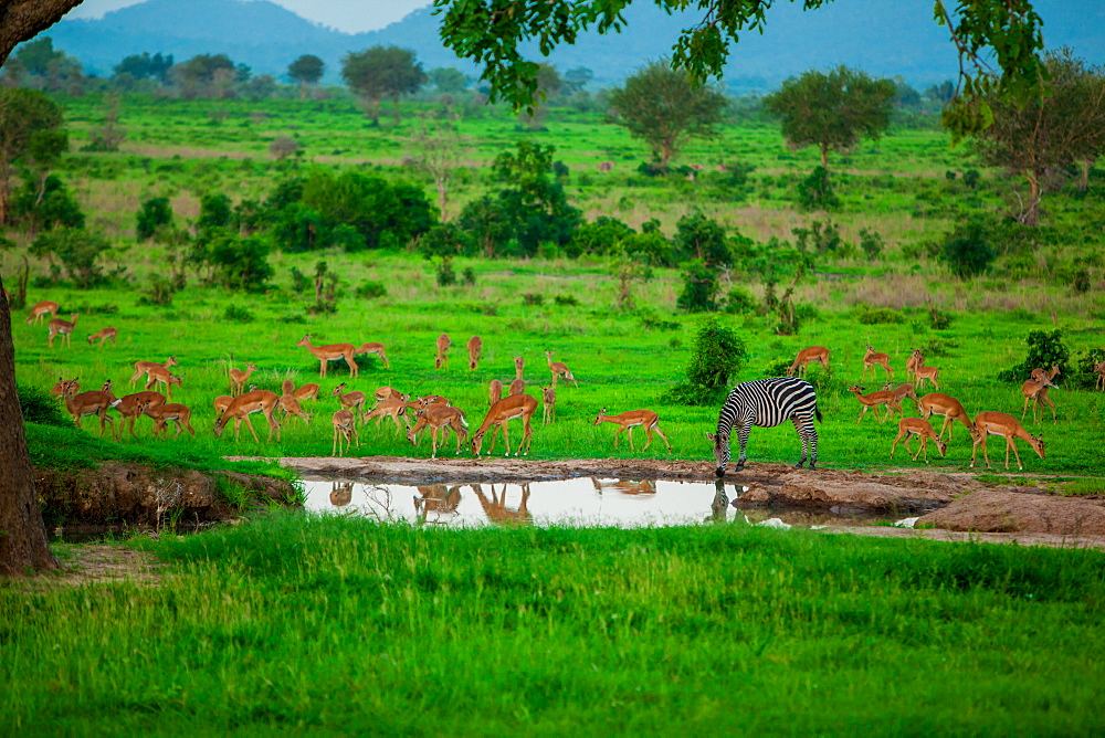 Zebra and wildlife at the watering hole, Mizumi Safari Park, Tanzania, East Africa, Africa