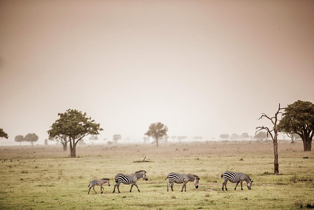 Zebras on safari, Mizumi Safari Park, Tanzania, East Africa, Africa