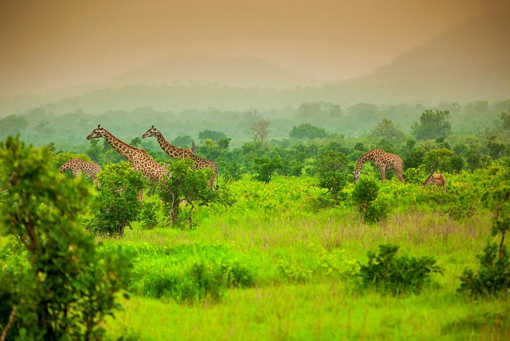 Giraffes on safari, Mizumi Safari Park, Tanzania, East Africa, Africa