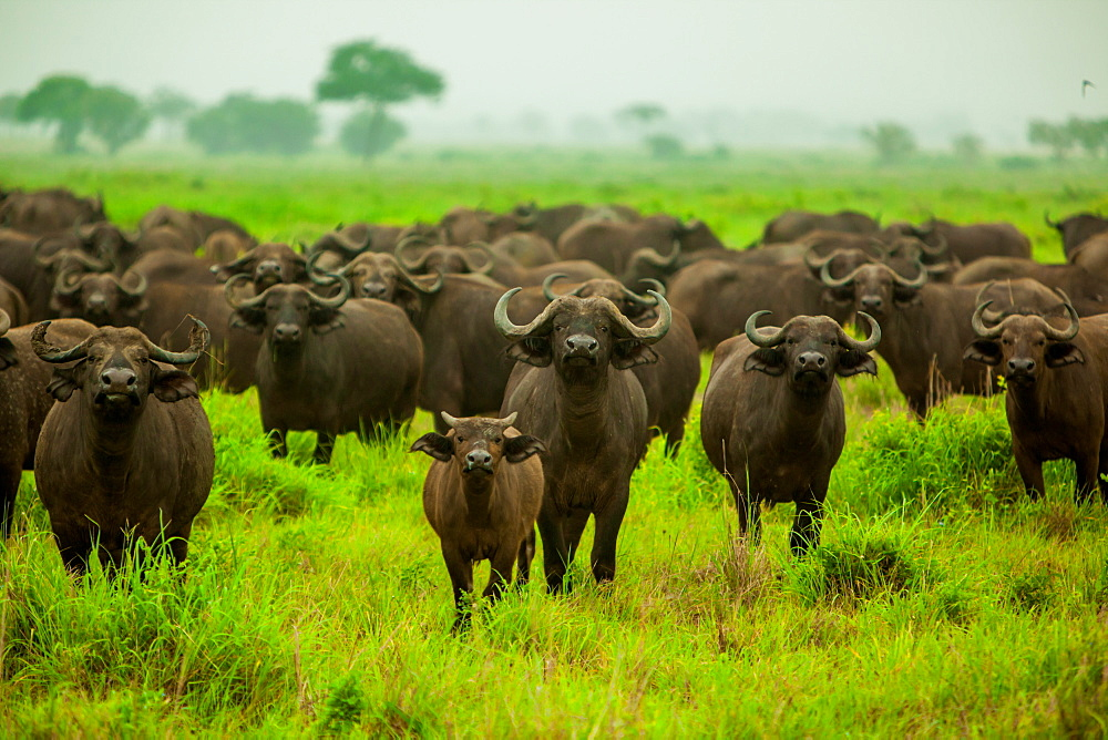 Water buffalo standoff on safari, Mizumi Safari Park, Tanzania, East Africa, Africa