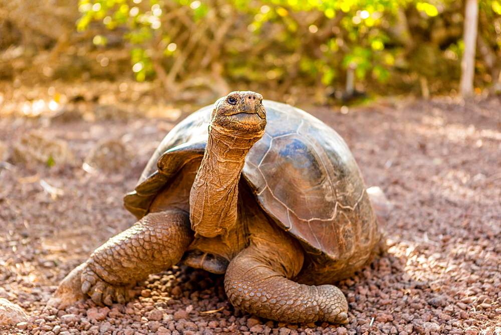 Land Tortoise on Epanola Island, Galapagos Islands, Ecuador, South America - 1218-449