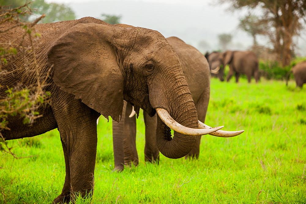 African elephants on safari, Mizumi Safari Park, Tanzania, East Africa, Africa