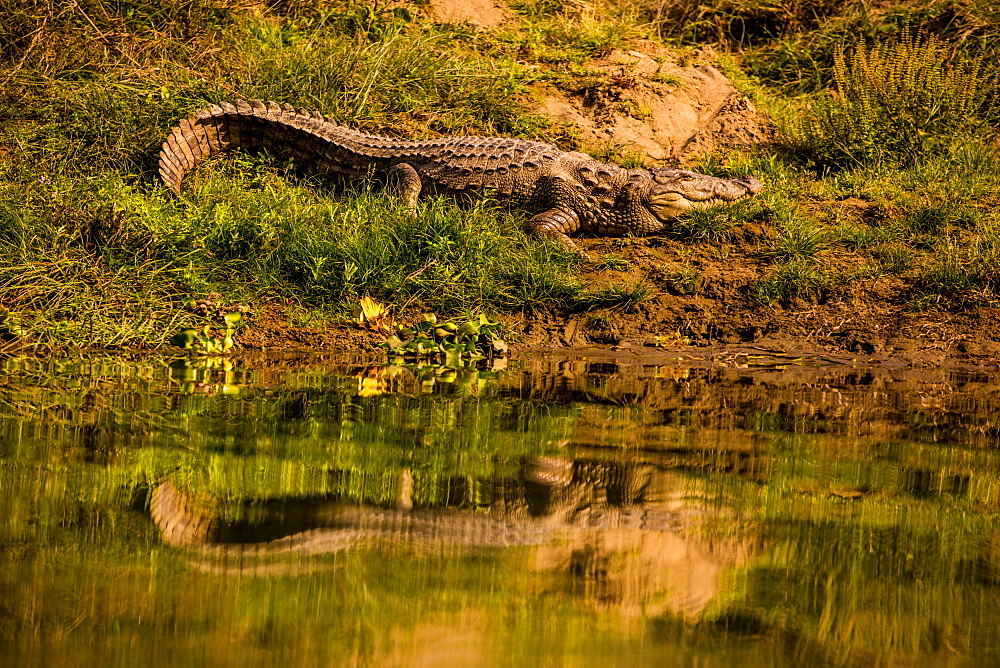 Crocodile sunning himself by a river, Chitwan Elephant Sanctuary, Nepal, Asia