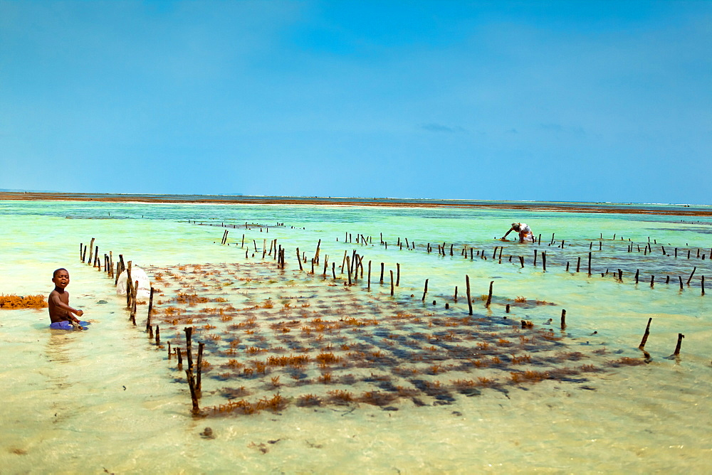 Seaweed farmer, Zanzibar Island, Tanzania, East Africa, Africa