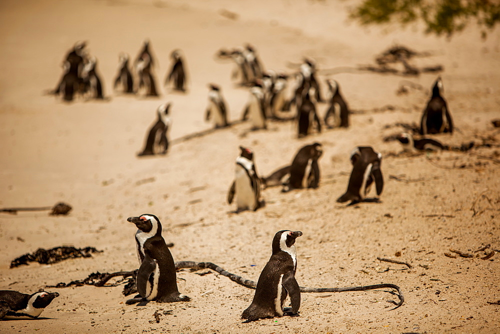 Cape African penguins, Boulders Beach, Cape Town, South Africa, Africa
